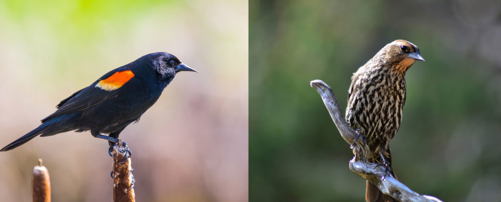 Red-winged blackbirds, male and female