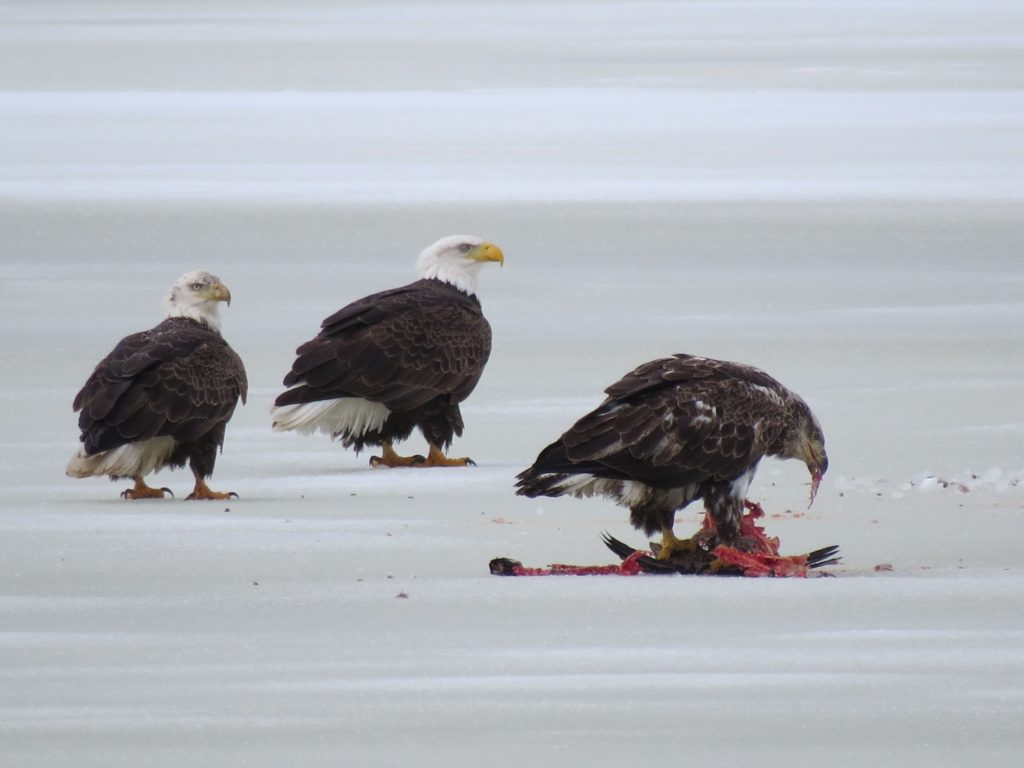 Bald eagles (young one is eating a goose)