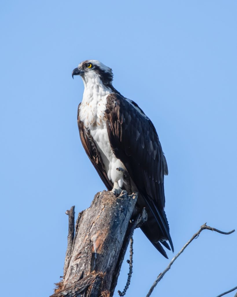 Pandion haliaetus is so successful, it is the only species in the entire Osprey family, worldwide.  (Compare to the Woodpecker family, with 240 species.)