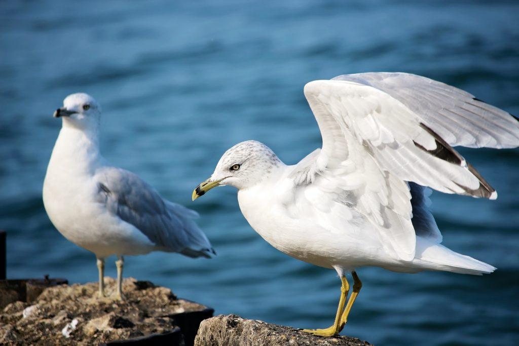 Ring-bill gull