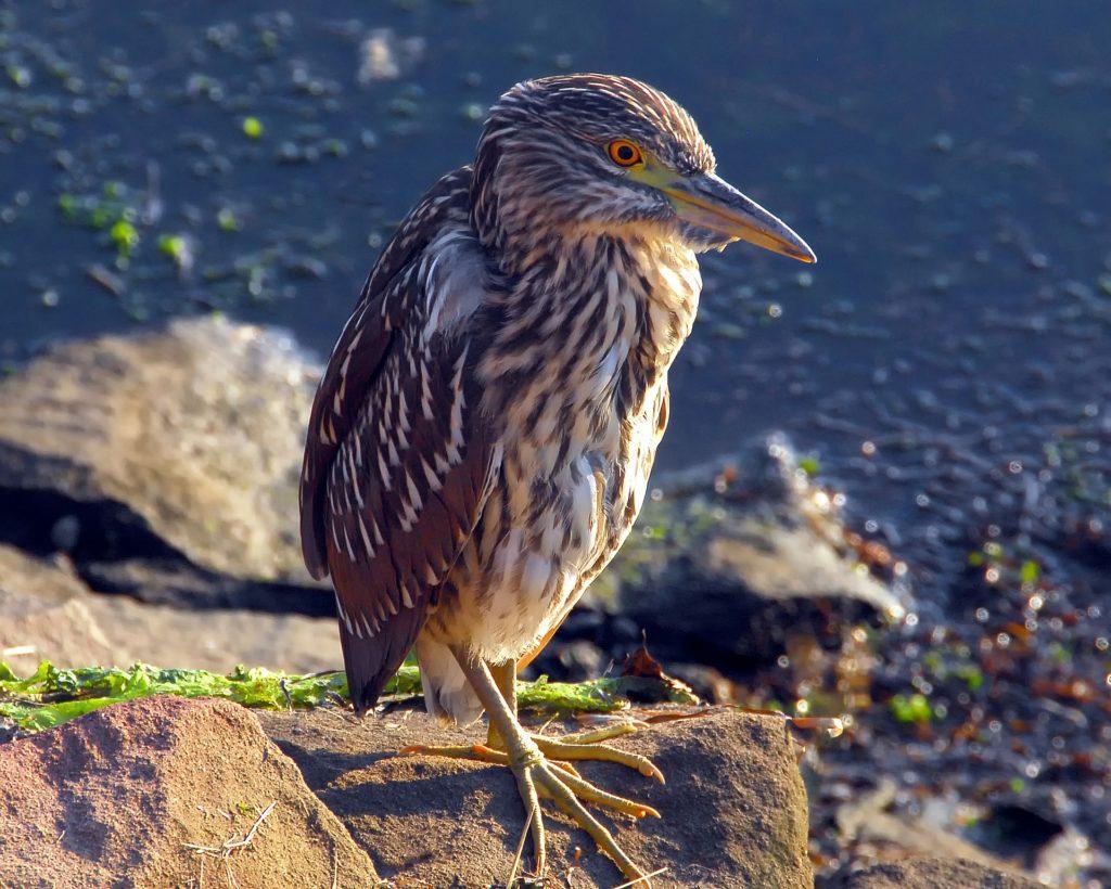 Night heron (immature)