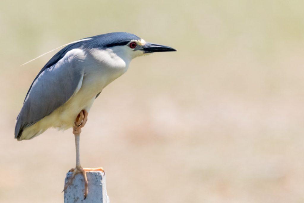 Black_crowned night heron