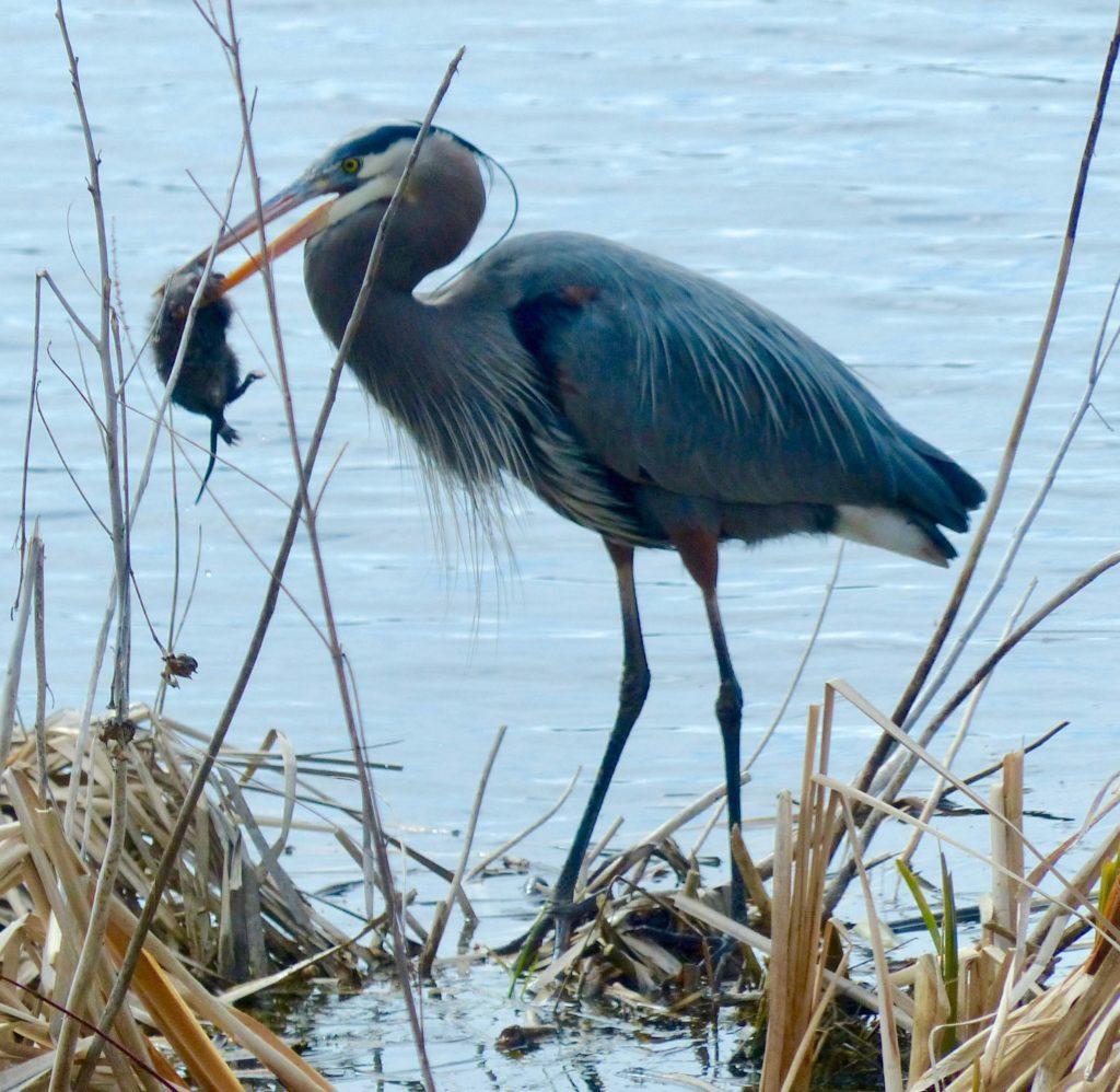 Great blue heron and muskrat