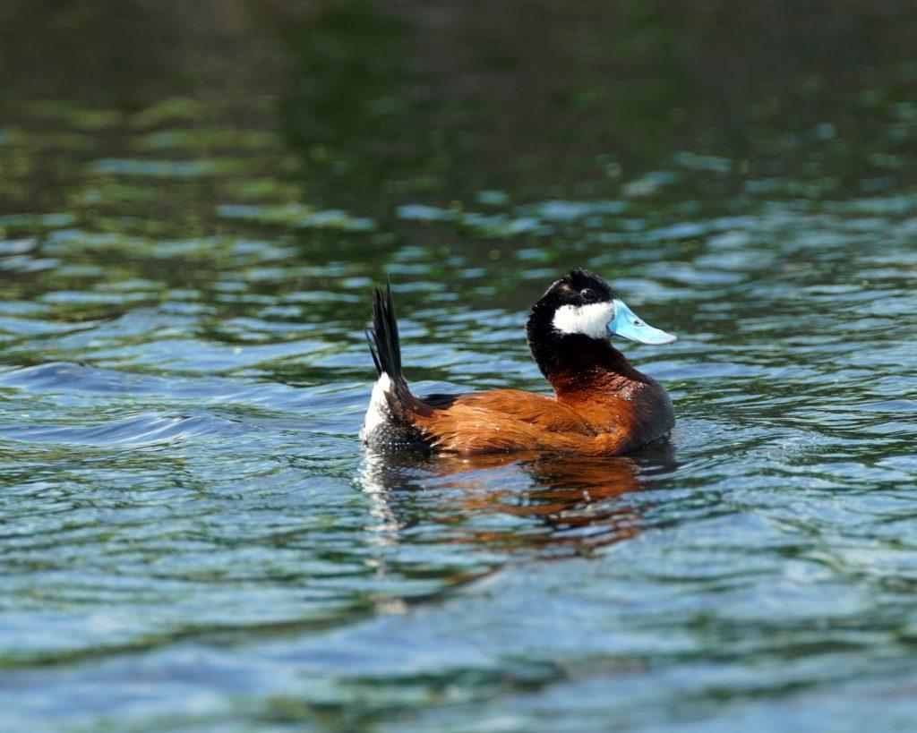Ruddy duck, summer