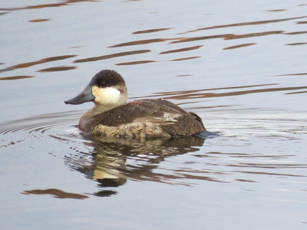 Ruddy duck, winter