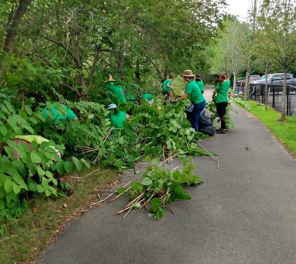 Teen volunteers on a paved path, pulling invasive plants